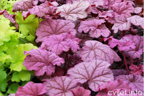 heuchera_berry_smoothie_1b[1].jpg